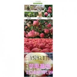 今 日 2016平安夜红富士苹果80以上价格走