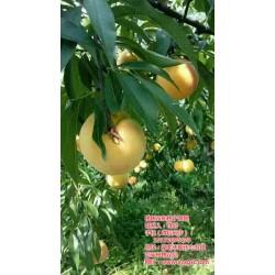 桃树苗种植,湖北桃树苗,枣阳桃花岛