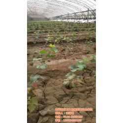 平罗县葡萄苗|北方大地葡萄|贵妃玫瑰葡萄苗