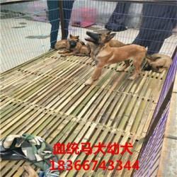 益阳熊版阿拉斯加价格血统马犬出售
