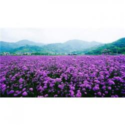 湖南省七叶一枝花种子