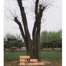 聚源园林苗木中心(图),大槐树苗哪有卖,大槐