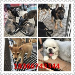 黄石成年科目马犬价格大型猎犬杜高犬