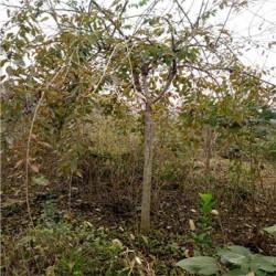 供应10公分垂枝樱花  基地直销垂枝樱花 量