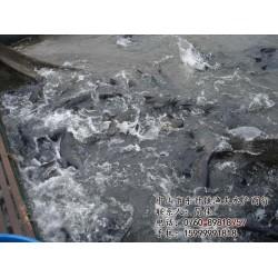 白鲩鱼, 中山市渔夫水产,常州鲩鱼