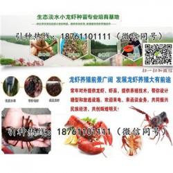 桐城青红小龙虾苗价格优质龙虾种苗供应