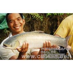 上海鲩鱼|蒸鲩鱼|渔夫水产贸易有限公司(优