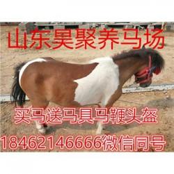 梧州设特兰矮马昊聚养马场效益