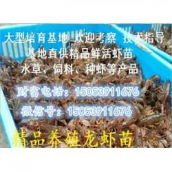 咸宁哪里有品种好的虾苗卖—淡水龙虾养殖技