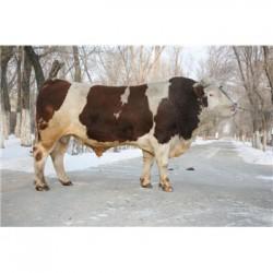 郑州西门塔尔肉牛犊批发价格