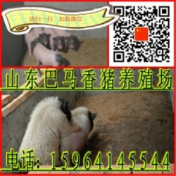 六盘水巴马香猪养殖场龙岩巴马香猪后背母猪