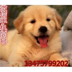 贵州凯里纯种卡斯罗犬价格大骨架杜高犬疫苗