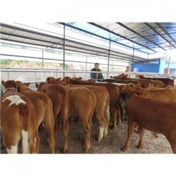 郑州一头肉牛犊价格
