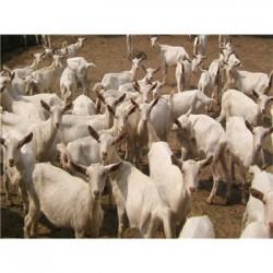选择肉羊育肥剂 用优农康微生态上膘快