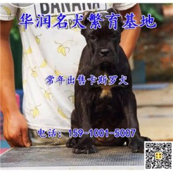 黑龙江鹤岗小卡斯罗犬低价出售