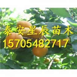 沙金红杏苗一亩种植多少支