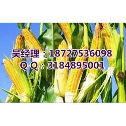 高价收购玉米_民发养殖_收购玉米