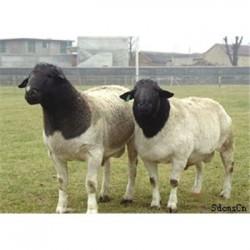 甘肃天水白山羊价格走势