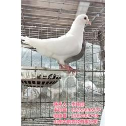 河南鸽子养殖技术、鸽子养殖技术、山东中鹏