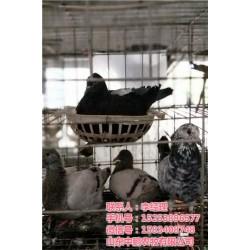 元宝鸽子养殖技术_山东鸽子养殖技术_山东中