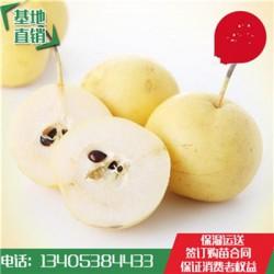 翠冠梨树苗酸甜可口梨树苗品种多样