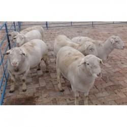 四川达州杜泊绵羊圈养技术