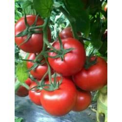 承德西红柿育苗厂 硬粉番茄种苗