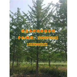 邳州市浩威银杏苗圃场